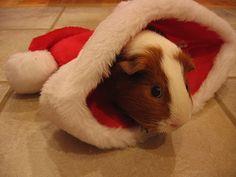 Google Image Result for http://www.acuteaday.com/blog/wp-content/uploads/2010/12/christmas-guinea-pig.jpg