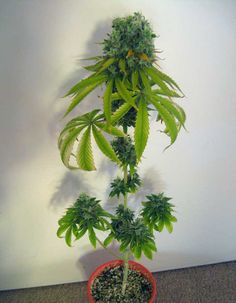Get a summary of all the most common plant training techniques that growers use to increase their cannabis yields indoors! Marijuana Plants, Cannabis Plant, Growing Weed Indoors, Hydroponic Grow Systems, Weed Plants, Cannabis Cultivation, Plants, Ganja, Flowers