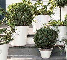 Live Ivy Globe Topiary | Pottery Barn