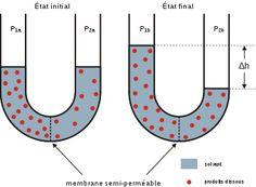 L'osmose est un phénomène de diffusion de la matière mis en évidence lorsque des molécules de solvant traversent une membrane semi-perméable séparant deux solutions dont les concentrations en soluté sont différentes ; le transfert de solvant se fait alors de la solution la moins concentrée (milieu hypotonique) vers la solution la plus concentrée (milieu hypertonique) jusqu'à l'équilibre (milieux isotoniques).