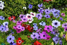 Image result for anemone flower