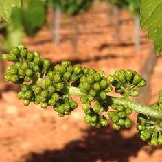 Creciendo en mayo. Mini racimos del vino del futuro.