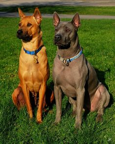 The Thai Ridgeback is an ancient breed of dog formerly unknown outside of Thailand. They are also known as a Mah Thai Lang Ahn. The Thai Ridgeback is one of only three breeds that has a ridge of hair that runs along its back in the opposite direction to the rest of the coat. Eight distinctive ridge patterns have been identified. The Ridgeback is a muscular, medium-sized pariah-type dog with a wedge-shaped head, triangular-shaped prick ears, and a very short, smooth coat.
