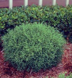 Thuja occidentalis 'Mr. Bowling Ball' - Mr. Bowling Ball Arborvitae.  Hmm... thought there might be some holes in it, but no.  3-4' Ht. and 3-4' Spread.  Fine textured and a silvery green color.