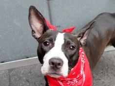 SAFE 5-1-2015 --- Manhattan Center BLUE JAY – A1033760 ***SAFER : AVERAGE HOME*** FEMALE, BLACK / WHITE, PIT BULL MIX, 2 yrs STRAY – STRAY WAIT, NO HOLD Reason ABANDON Intake condition EXAM REQ Intake Date 04/20/2015
