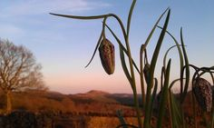 Snakeshead Fritillary and Hawnby Hill