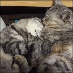 """Animated Cat GIF • 2 cats in love ♥ Adorable hugs. I love you, me too >> Purrfect romance """"I love you ♥ Me too."""""""