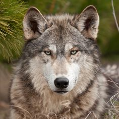Wolf Hunting Law Ruled Unconstitutional by Michigan Court of Appeals