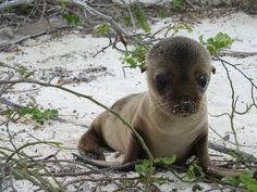 Baby seal, Galapagos Islands