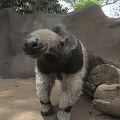 "stammsternenstaub: ""togepichu: "" bobbyfischers-kingsidebishop: "" earthdad: "" earthstory: "" Giant Anteater at the San Diego Zoo "" i need to meet this man "" Beautiful Fake animal invented by Jim. Unusual Animals, Rare Animals, Wild Animals, Exotic Animals, Giant Anteater, Animal Noses, Cat In Heat, Cats Bus, Animal Magic"