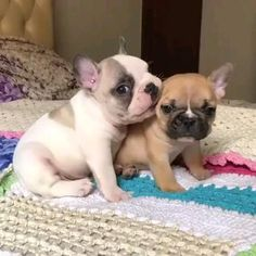 Cute French Bulldog, French Bulldog Puppies, Cute Dogs And Puppies, Baby Dogs, Cutest Dogs, Doggies, Miniature French Bulldog, White French Bulldogs, Pug Dogs