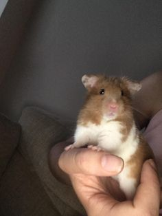 This sub is dedicated to hamsters and their humans. Hamster Pics, Baby Hamster, Cute Little Animals, Cute Funny Animals, Hamster Habitat, Funny Hamsters, Cute Rats, Cute Creatures, Animals And Pets