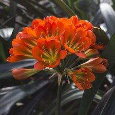 Colorado Clivia's plant number Clivia miniata, TC Bronze x Doomsday. Flower Power, Colorado, Bronze, Number, Spring, Flowers, Plants, Image, Aspen Colorado