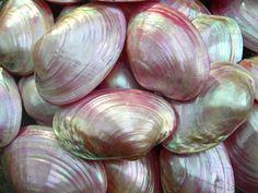 pretty seashells via  flowersonmytable.blogspot.com