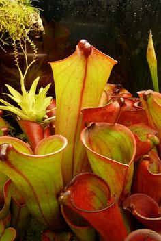 I've been rewarded recently by the biggest Heliamphora folliculata I have ever grown. It is a bit more than 35 cm high! I think this specie. Bog Plants, Garden Plants, Unusual Plants, Exotic Plants, Love Flowers, Beautiful Flowers, Plante Carnivore, Planting Flowers, Flower Gardening