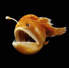 The male angler fish is significantly smaller than the female. When he finds a female, he bites into her skin, and releases an enzyme that digests the skin of his mouth and her body, fusing the pair down to the blood-vessel level. The male then slowly atrophies, losing his digestive organs, brain, heart, and eyes and ends as nothing more than a pair of gonads, which release sperm in response to hormones in the female's bloodstream. Multiple males can be incorporated into a single female