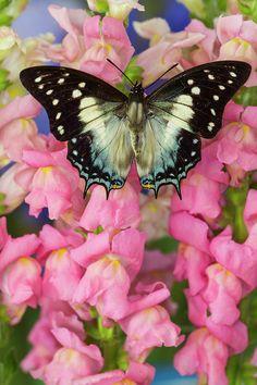 Leafwing Butterfly, Polyura Cognatus Photograph by Darrell Gulin