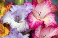 Когда выкапывать луковицы гладиолусов осенью и где хранить их до весны   В цветнике (Огород.ru)