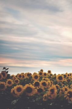 one of the most beautiful places on camp grounds: the sunflower fields. All The Bright Places, Sunflower Fields, Sunflower Flower, Field Of Sunflowers, Sunflowers Tumblr, Sunflower Season, Jolie Photo, Mellow Yellow, Yellow Sun