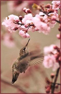 Hummingbird - and Cherry Blossom - Color Inspiration: Pink, Brown Pretty Birds, Love Birds, Beautiful Birds, Animals Beautiful, Cute Animals, Small Birds, Little Birds, Deco Rose, Hummer