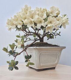 Azalea | rhododendron