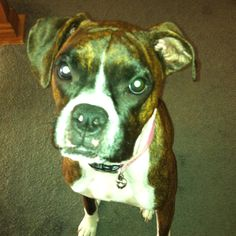 What would I do without her? My boxer , Liberty