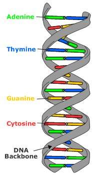 DNA: the molecular basis of mutations  Double helix DNA structure with bases labeled.  Berkeley Understanding Evolution