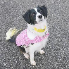 Little miss pretty in pink!  #bordercolliemix #bordercollielovers #dog #dogsofinstagram #dogs_of_instagram #dogsofig #pet #petsofinstagram #petsofig #petstagram #petsagram #cutedog #woof #cuteoftheday #chicagogram #chicago #chitown