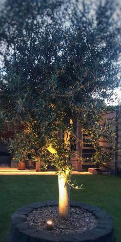 Geef je tuin een mooie look met een olijfboom in je tuin Olympia, Sidewalk, Plants, Min, Gardening, Colors, Balcony, Walkway, Garten