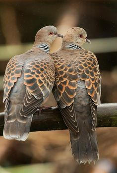 Turtle Dove (European Turtle Dove): member of Columbidae family (doves & pigeons); migratory species with southern Palearctic range, including Turkey & North Africa Most Beautiful Birds, Pretty Birds, All Birds, Love Birds, Bird Pictures, Animal Pictures, Beautiful Creatures, Animals Beautiful, Pigeon Breeds