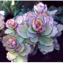 Kalanchoe laxiflora ssp. violacea