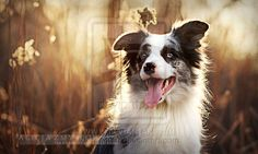 Female Blue Merle Border Collie- trick training, trail riding, companion, agility, herding