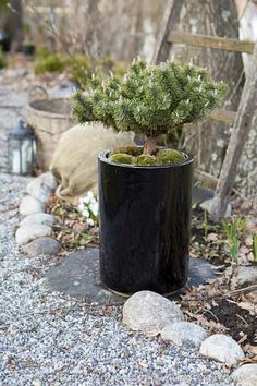 Trädgårdsflow: Lovely pine