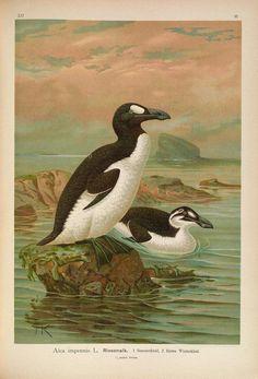 v. 12 - Naumann, - Biodiversity Heritage Library  --  arctic birds