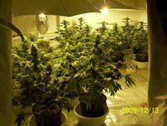 How to grow marijuana indoors and outdoors - A step by step guide on growing marijuana, cannabis or weed.  http://growingmarijuana.com/