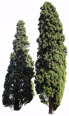 2966 x 5012 pixels PNG image. Cupressus sempervirens Mediterranean cypress, Italian cypress, Tuscan cypress. Being a symbol of Italy´s Tuscan landscape, this is one of the most iconic tree of the Mediterranean region. It can be found in other areas with similar weather, including California.