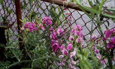 drought resistant perinnials for Illinois | Perennial Sweet Pea - Lathyrus latifolius