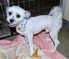 Terrier/Lhasa Apso male X is an adoptable dog at Ramona Humane Society in San Jacinto, CA.  He came to us as a stray so we estimate his age to be 2 ½ yrs. old, about 10 lbs. He is super friendly, very social and loves to be with people!  He was just treated to a professional grooming, so now he's all spiffy and eager to begin his new list.  You can find him in Inside Kennel #23.   He is up to date on shots, gets along well w/other dogs and he will be neutered prior to his adoption.   ID…