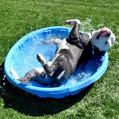 Pit Bull loving the summertime