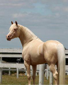 Cremello, Half-Arabian stallion, Aratahnes Excalibur