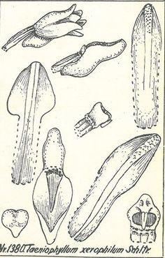 Taeniophyllum xerophilum