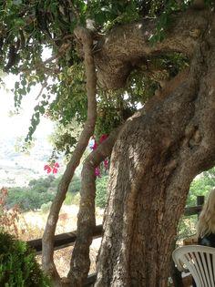 Old carob tree.