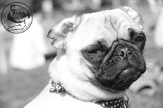 """Mr. Pug says: """"Oh you are so funny I forgot to laugh."""""""