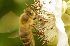 'Biene schwebt vor einer Blüte' von toeffelshop bei artflakes.com als Poster oder Kunstdruck $17.33