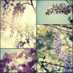 la glycine, my favorite garden flower