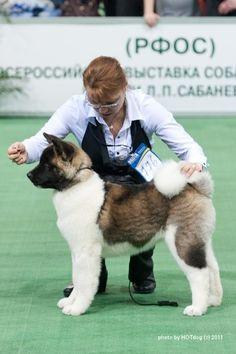 Akita pup. ITS. SO. FLUFFY!!!!!