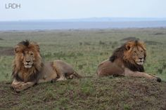 Kings of the Masai Mara, Scarface and Morane   by Laurent Renaud & Dominique Haution Website
