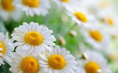 flor de margarita - Buscar con Google