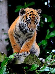 Tiger cub, Chester zoo |
