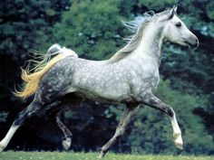 Dapple grey Arabian Horse Arabian Horse Show - Western Competition Egyptian Stallion Breeding PIntabians